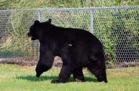 दुकान व घरों में घुसकर उत्पात मचाता रहा भालू