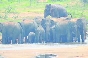 यहां फिर 19 हाथियों के दल ने मचाया आतंक, फसलों को किया तबाह दहशत में ग्रामीण