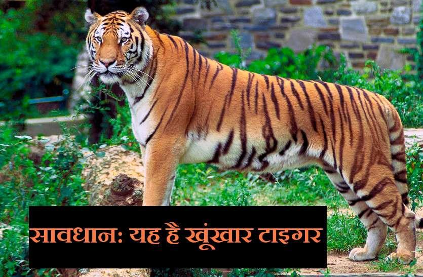 बेखौफ बाघ हो गया खतरनाक, अब तक ली 3 इंसानों की जान
