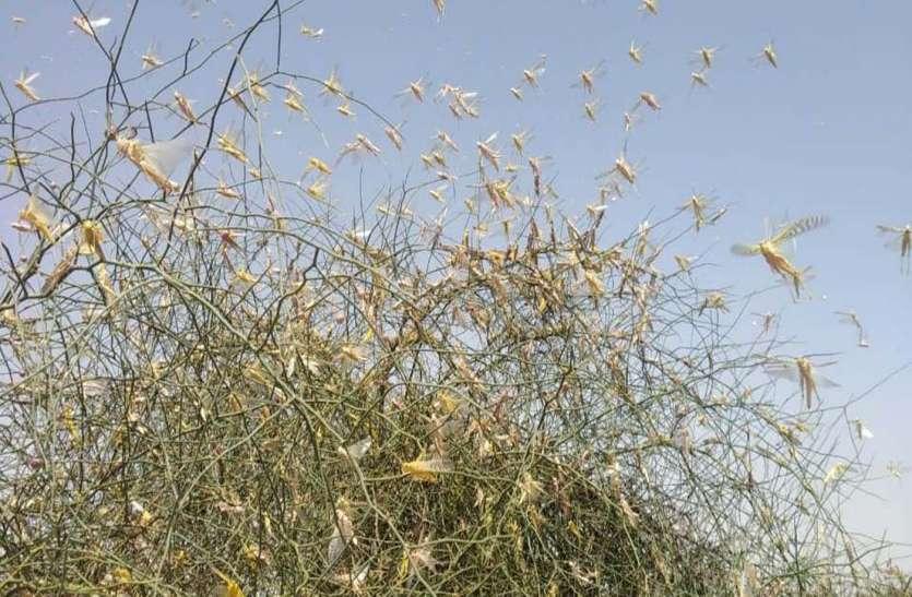 टिड्डी दलों ने डाला डेरा, किसानों की उड़ी नींद