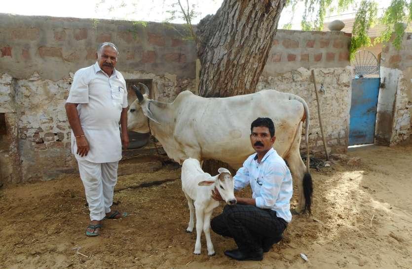 कृत्रिम गर्भाधान से फलोदी में पहली बछड़ी लक्ष्मी ने लिया जन्म