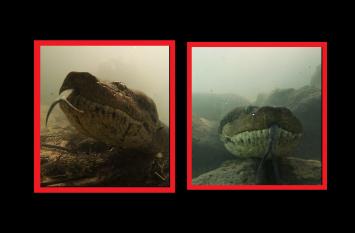 वीडियो: पानी में कैमरा लेकर उतरा तैराक, 7 मीटर लंबे एनाकोंडा से हुआ सामना