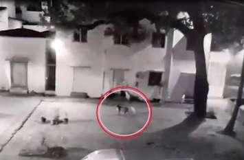 VIDEO : आप भी देखें...मंदिर परिसर में घुसा तेंदुआ, सीसीटीवी में कैद ही पल-पल की हरकत