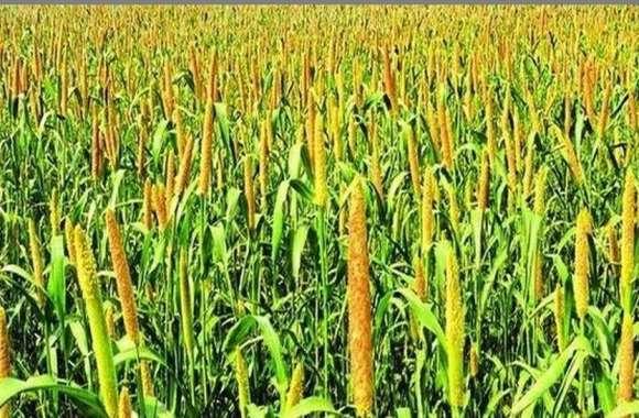 खेतों में खड़े 880 करोड़ रुपए के बाजरे से बाजार में रौनक आने की उम्मीद