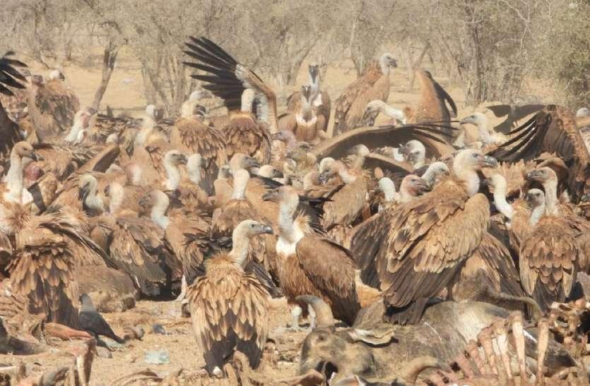 पाकिस्तान से पहली बार जैसलमेर पहुंचा कोलार्ड पक्षी,पर्यावरणप्रेमियों में खुशी