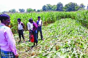 मक्का: पंजीयन की घोषणा न होने से किसानों में घबराहट