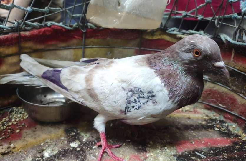 बॉर्डर पर पकड़े पाकिस्तानी कबूतर की जांच शुरू