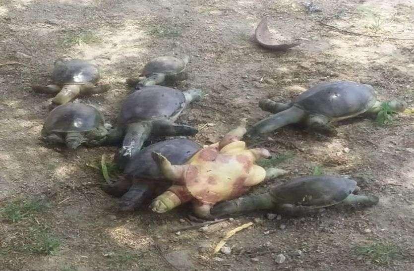 कापरड़ा तालाब में 40 से अधिक कछुओं की संदिग्ध मौत