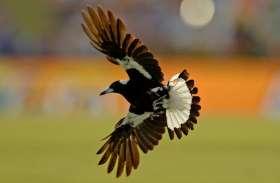 ऑस्ट्रेलिया: साइकल सवार पर पक्षी ने किया हमला, चोंच मारकर ले ली जान