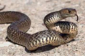 Snake Bite: मवेशियों के लिए घास काट रही महिला को सांप ने काटा, मौत