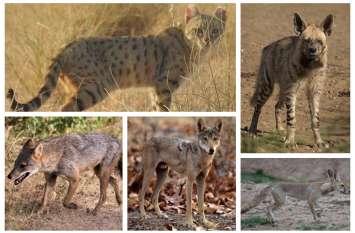 थार में खत्म होने की कगार पर पहुंचे भेडिय़े, लकड़बग्घा, सियार, मरु बिल्ली, मरु लोमड़ी की जनसंख्या भी कम