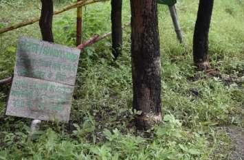 नर्सरी में लगे दो चंदन के पेड़ों पर चली आरी पथरिया जाट स्थित वन विभाग की नर्सरी का मामला