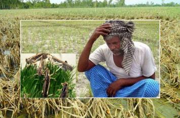 प्रदेश के अन्नदाताओं पर संकट, पश्चिमी राजस्थान में टिड्डी दल ने चौपट की फसल, तो यहां बारिश से हुआ बुरा हाल