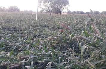 Jaipur rural : पहले फड़का ने और अब बारिश ने किसानों की मेहनत पर फेरा पानी