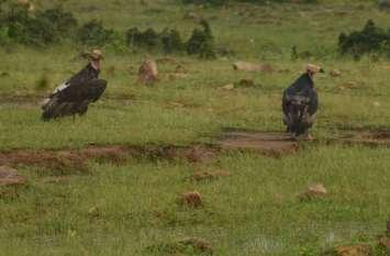 मडिय़ादो बफर की शोभा बढ़ा पक्षियों का राजा गिद्ध