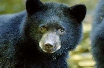 झाड़ी में छुपा था भालू, युवक को देखते ही किया हमला, सिर और हाथ में आई गंभीर चोट