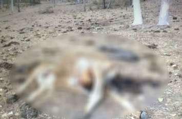 यूपी के बस्ती के गौशाला में गोवंश का बुरा हाल, मरी गाय बन रही कुत्तों का भोजन