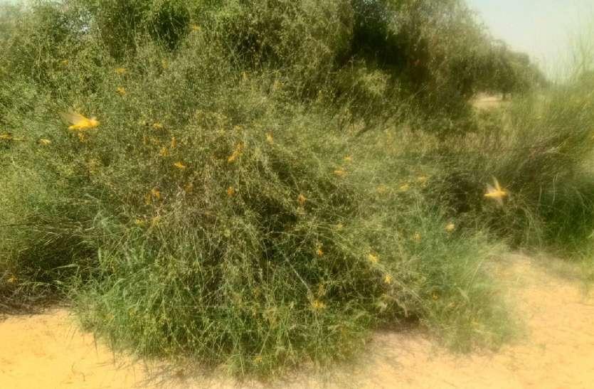 चार माह से टिड्डियों का प्रकोप जारी, खड़ी फसलों को पहुंचा रही नुकसान