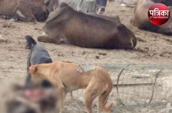 VIDEO: जिम्मेदार महकमों की लापरवाही का शिकार बन रहे मवेशी, आदमखोर कुत्ते नोच-नोचकर खा रहे गाय और भेड़-बकरी