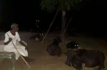 जयपुर पुलिस के लिए 'भैंस' बनी सिरदर्द, पशुपालक बने दिन-रात के 'पहरेदार'