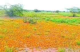 बाड़मेर के गिड़ा व शिव में टिड्डी का हमला, फसलों को नुकसान
