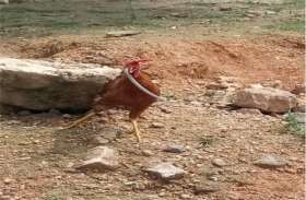 जिन्दा सांप को निगल गया मुर्गा, लोग हुए हैरान