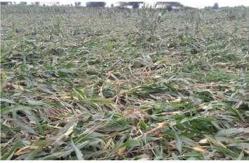 खेतों में बची खड़ी मक्का की फसलें हुई बरबाद, किसानों को भारी नुकसान
