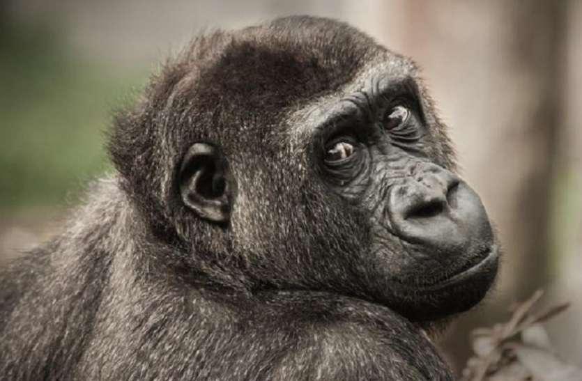 आर्थिक अपराधों की जांच करने वाले ईडी ने क्यों अटैच किए नटखट बंदर, चिंपाजी