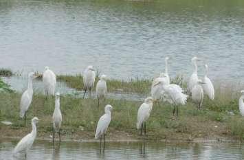 तालाब के किनारे अपने भोजन की व्यवस्था में जुटे बगुला पक्षी