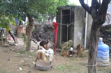 जंगल में कर रहे शौच, शौचालय में बांधी बकरियां, भर दिए कंडे