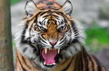 रणथम्भौर राष्ट्रीय उद्यान: बाघ के हमले से बकरियां चरा रहे युवक की दर्दनाक मौत
