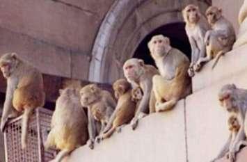 इस जिले में 'फौज' बनाकर घूम रहे बंदर, खौफ से अपने घरों में ही कैद हुए लोग, देखें वीडियो