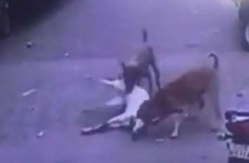 Surar viral video;श्वानों ने बकरी को फाड़ खाया,वीडियो वायरल