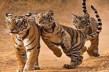 अब जंगल में ही मिलेगा बाघों को भोजन
