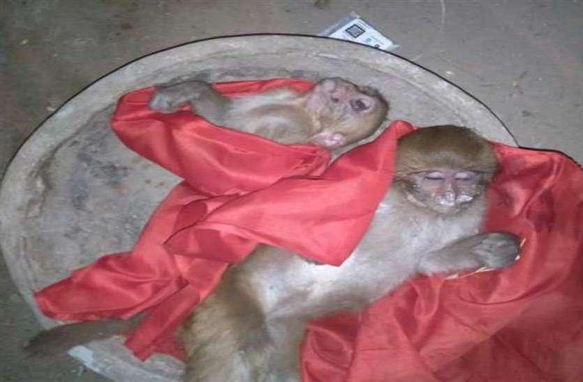 एक-एक कर कई बंदरों के मुंह से निकलने लगा झाग, एक दर्जन बंदरों की मौत के बाद इलाके में हड़कंप