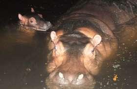 गांधी प्राणी उद्यान में शिशु हिप्पो का जन्म