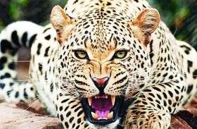 Panther Attack: पैंथर ने फैलाई दहशत