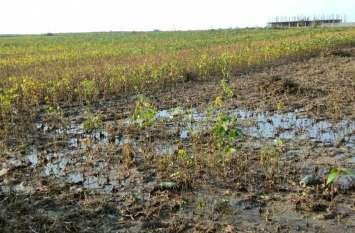 लगातार बारिश से सोयाबीन की फसल पर बढ़ा संकट