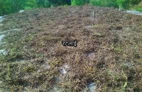 खेतों में पानी भरा, छत पर सूखा रहे सोयाबीन