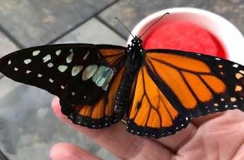 तितली के टूटे पंख का इस महिला ने कर दिया ट्रांसप्लांट, वीडियो देखकर नहीं कर पाएंगे यकीन