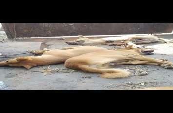 जानवरों पर ऐसी क्रूरता देख सहम गए लोग, पैरों को बांधा और पीट पीटकर दर्जनों कुत्तों को मार डाला