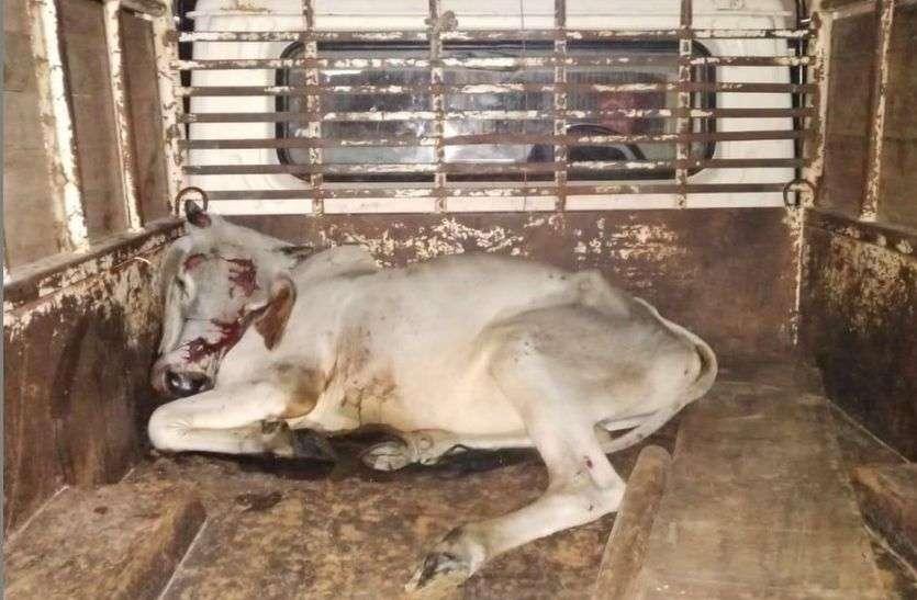 सड़क पर बैठी पांच गायों को कुचलकर चला गया वाहन