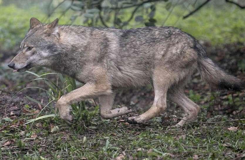 मादा भेडिय़ा के बारे में सूचना देने पर मिलेगा 30 हजार यूरो का इनाम