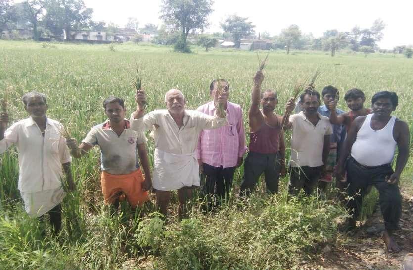 अन्नदाता की विडंबना: खैरा रोग से सूख रही खड़ी धान की फसल, किसान परेशान, सामने आई बड़ी बेपरवाही