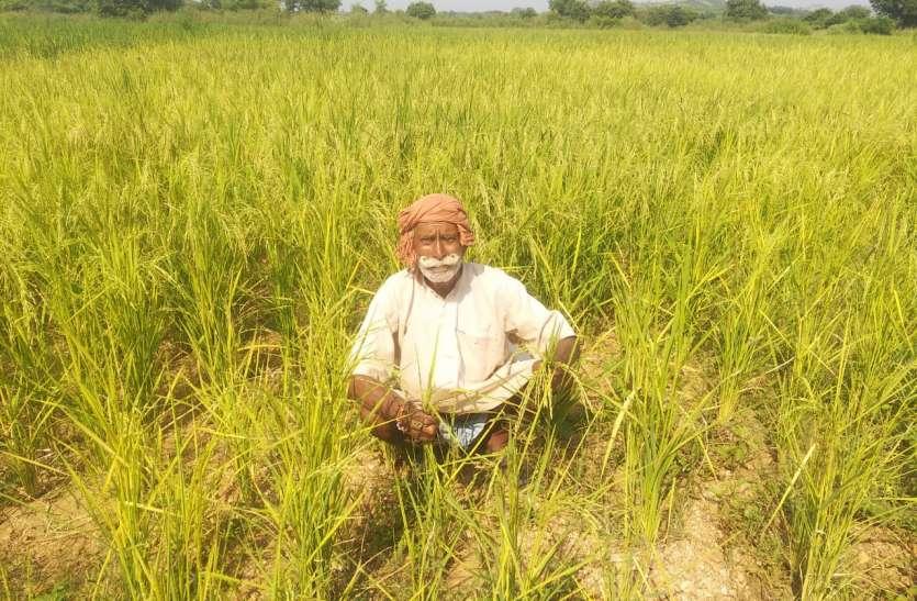 धान की फसल करने वाले किसान मुश्किल में