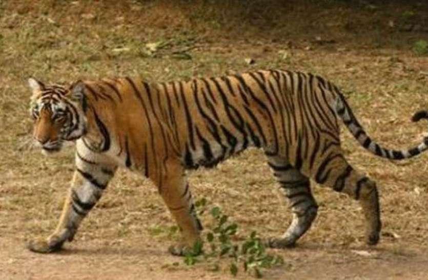 बाघ के हमले में किसान की मौत