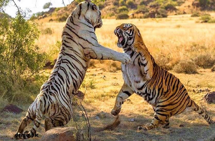 आपसी संघर्ष में दो बाघों की मौत, वहीं हमले में पांच ग्रामीणों की गई जान, फिर भी नहीं चेता विभाग