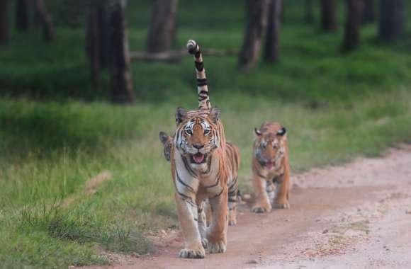 पेंच में पहले दिन पर्यटकों को हुआ बाघ के कुनबे का दीदार