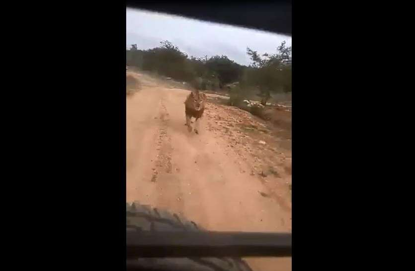 VIRAL VIDEO : सफारी का लुत्फ ले रहे थे कि अचानक शेर ने किया पीछा
