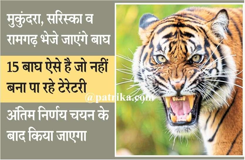 शिफ्टिंग के लिए बाघों पर मंथन शुरू,बाघों के चयन में जुटे अधिकारी,मुकुंदरा, सरिस्का व रामगढ़ भेजे जाएंगे बाघ